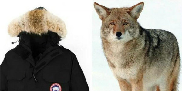 加拿大鹅郊狼毛皮.jpg